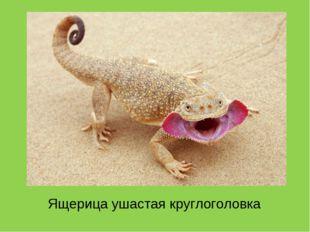 Ящерица ушастая круглоголовка