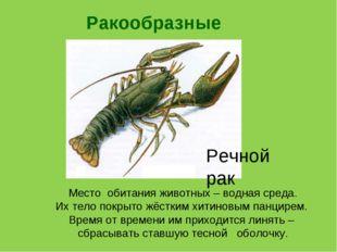 Ракообразные Речной рак Место обитания животных – водная среда. Их тело покры