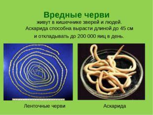 Вредные черви живут в кишечнике зверей и людей. Аскарида способна вырасти дли