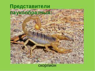 скорпион Представители паукообразных: