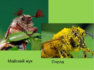 Майский жук Пчела