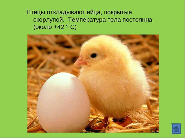 Птицы откладывают яйца, покрытые скорлупой. Температура тела постоянна (около...
