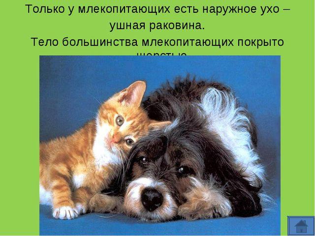 Только у млекопитающих есть наружное ухо – ушная раковина. Тело большинства м...