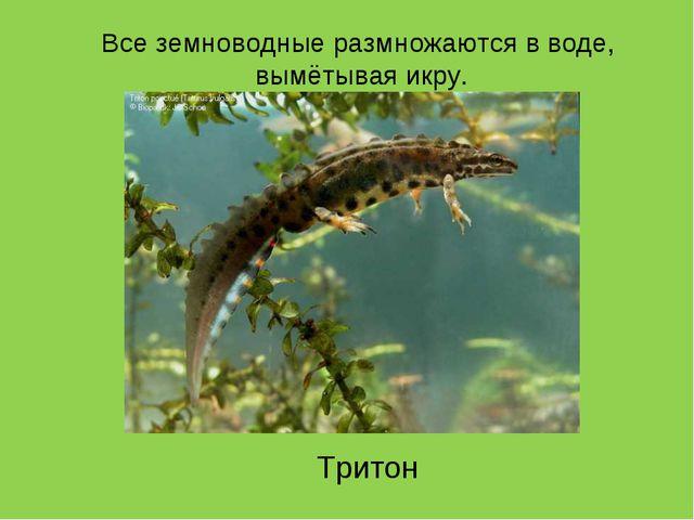 Тритон Все земноводные размножаются в воде, вымётывая икру.