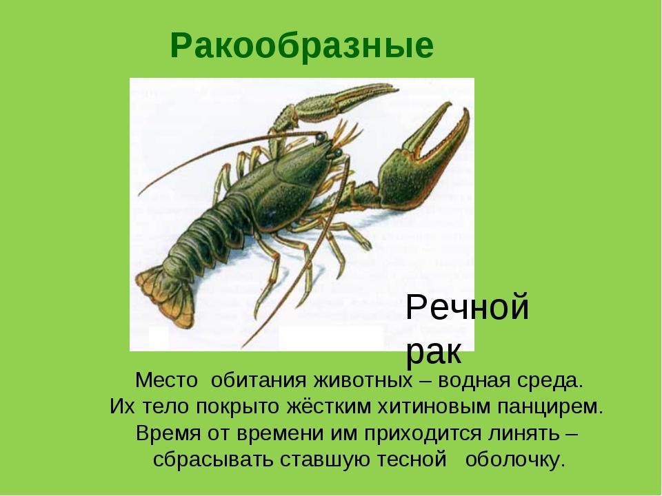 Ракообразные Речной рак Место обитания животных – водная среда. Их тело покры...