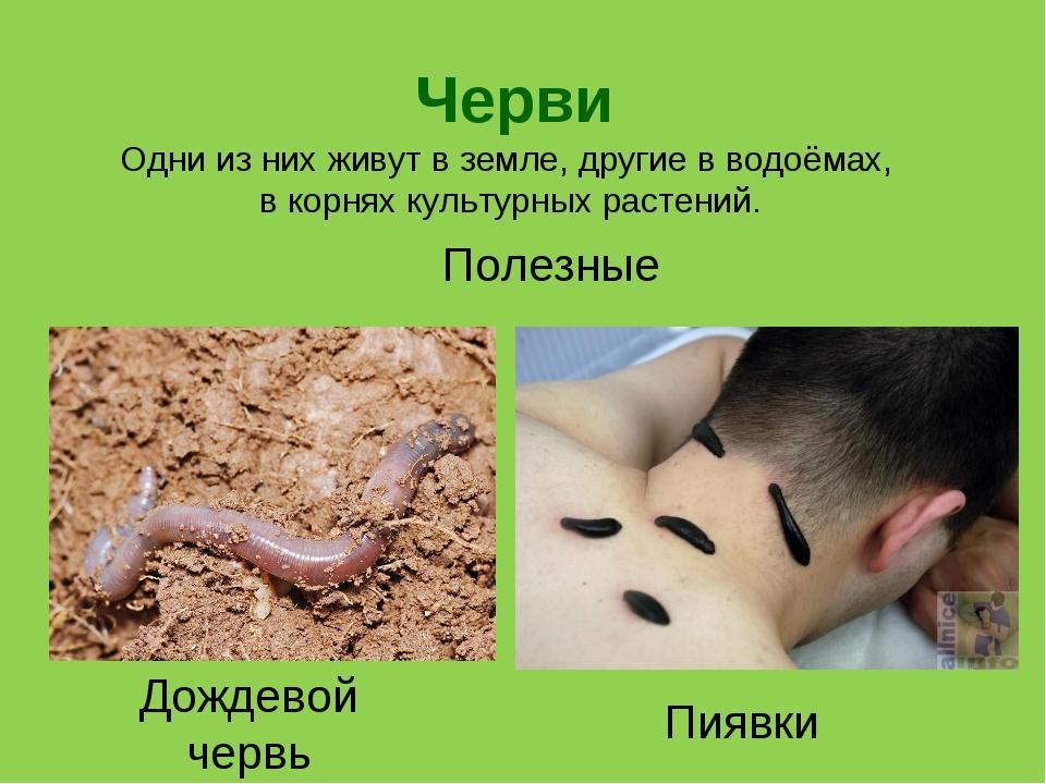 Черви Пиявки Дождевой червь Одни из них живут в земле, другие в водоёмах, в к...