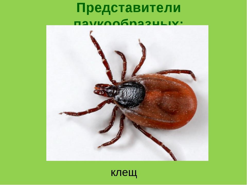 Представители паукообразных: клещ