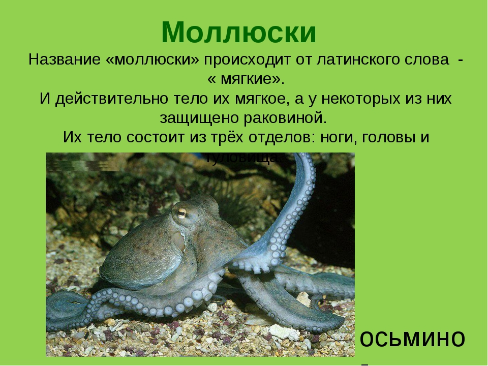 Моллюски осьминог Название «моллюски» происходит от латинского слова - « мягк...