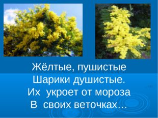 Жёлтые, пушистые Шарики душистые. Их укроет от мороза В своих веточках…