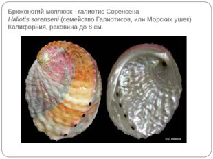 Брюхоногий моллюск - галиотис Соренсена Haliotis sorenseni(семейство Галиот