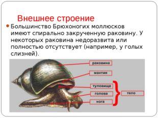 Внешнее строение Большинство Брюхоногих моллюсков имеют спирально закрученную