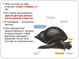 Тело состоит из трёх отделов:головы,туловищаиноги. На голове расположены