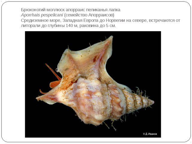 Брюхоногий моллюск апорраис пеликанья лапка Aporrhais pespelicani(семейство...