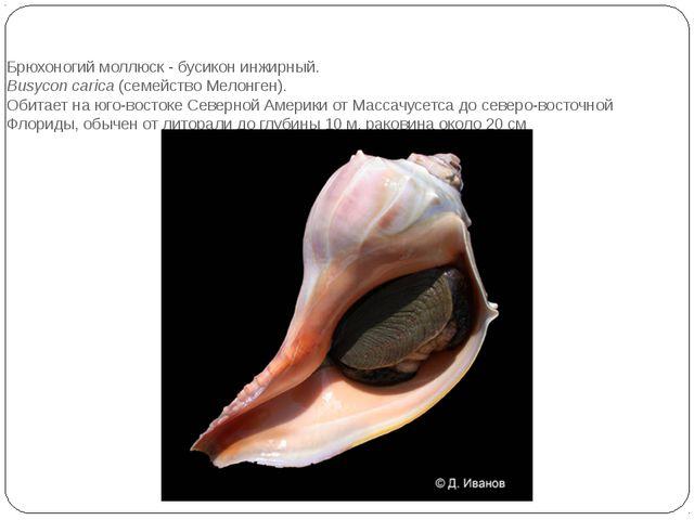 Брюхоногий моллюск - бусикон инжирный. Busycon carica(семейство Мелонген)....