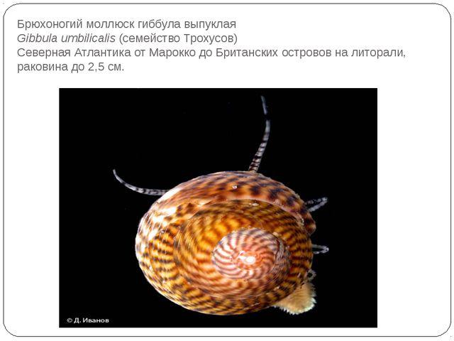 Брюхоногий моллюск гиббула выпуклая Gibbula umbilicalis(семейство Трохусов)...