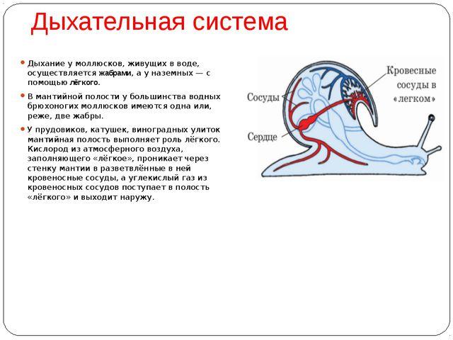 Дыхательная система Дыхание у моллюсков, живущих в воде, осуществляетсяжабра...