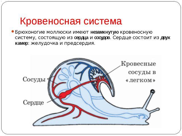 Кровеносная система Брюхоногие моллюски имеютнезамкнутуюкровеносную систему...