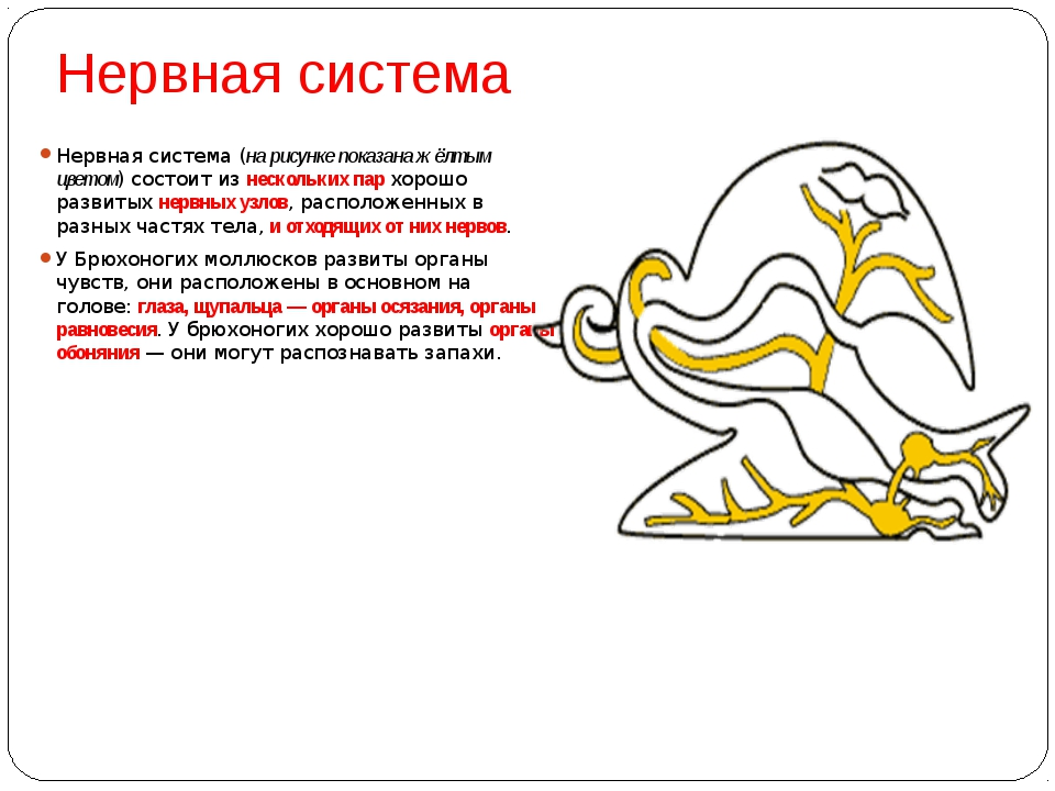 Нервная система Нервная система (на рисунке показана жёлтым цветом) состоит и...