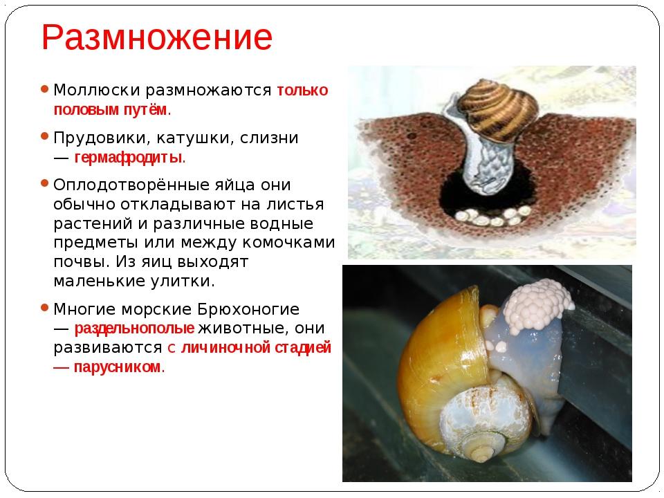 Размножение Моллюски размножаютсятолько половым путём. Прудовики, катушки, с...