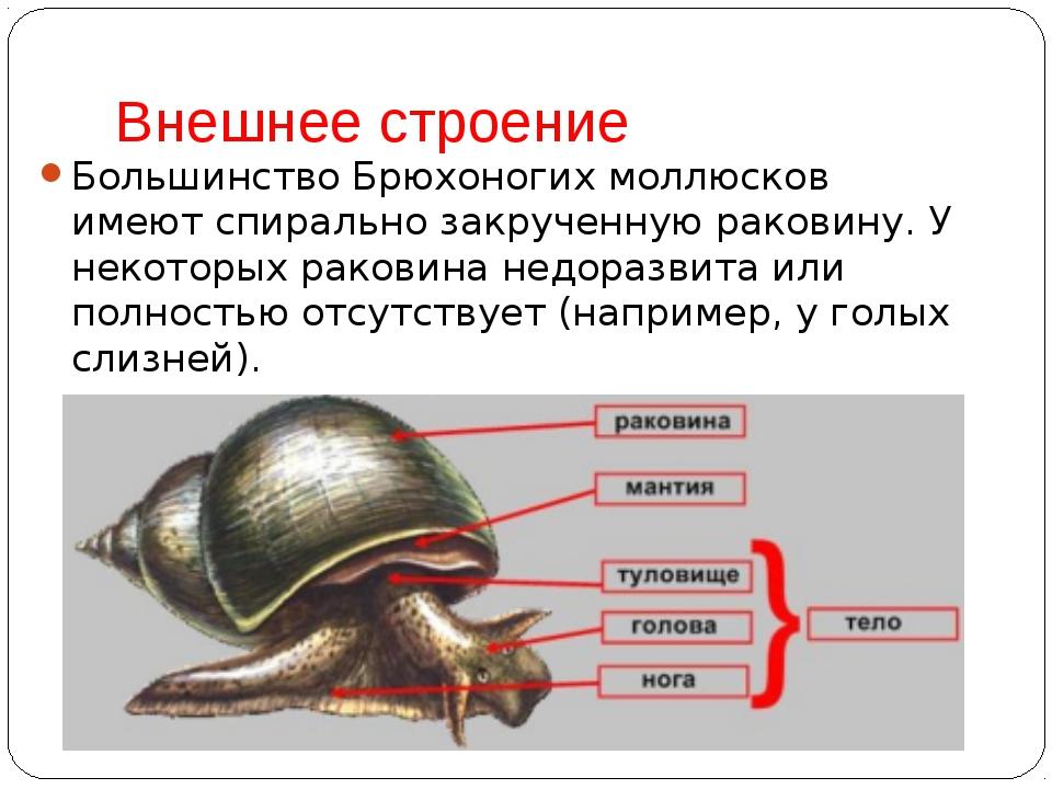 Внешнее строение Большинство Брюхоногих моллюсков имеют спирально закрученную...