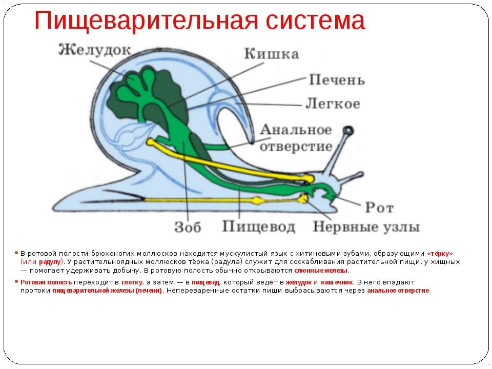 Пищеварительная система В ротовой полости брюхоногих моллюсков находится муск...
