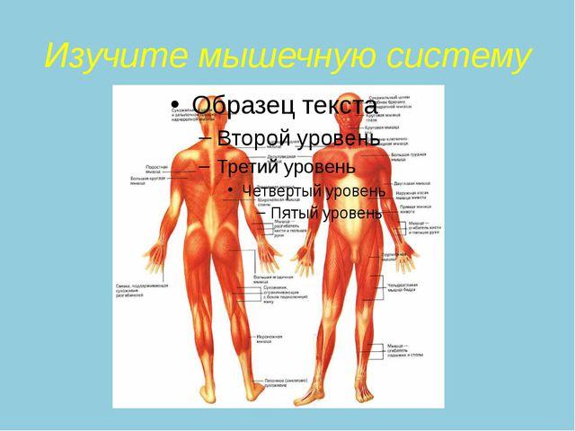 Изучите мышечную систему