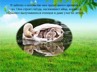 В заботах о потомстве они тратят много времени и сил. Они строят гнёзда, наси