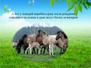 А вот у лошадей жеребята сразу после рождения становятся на ножки и даже могу