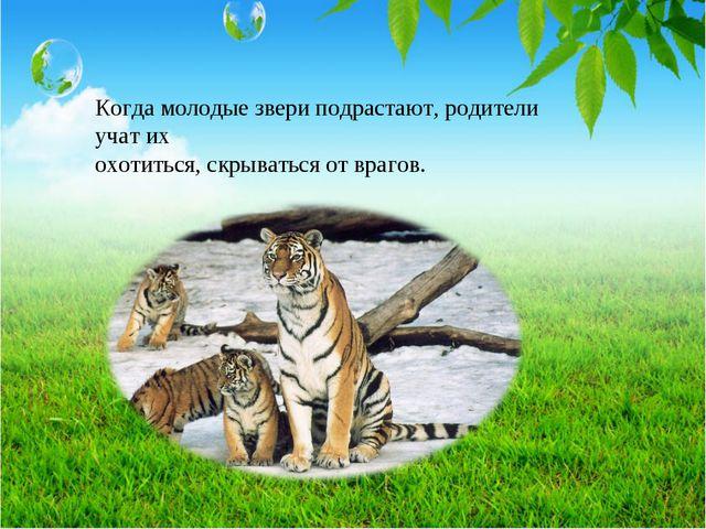 Когда молодые звери подрастают, родители учат их охотиться, скрываться от вра...