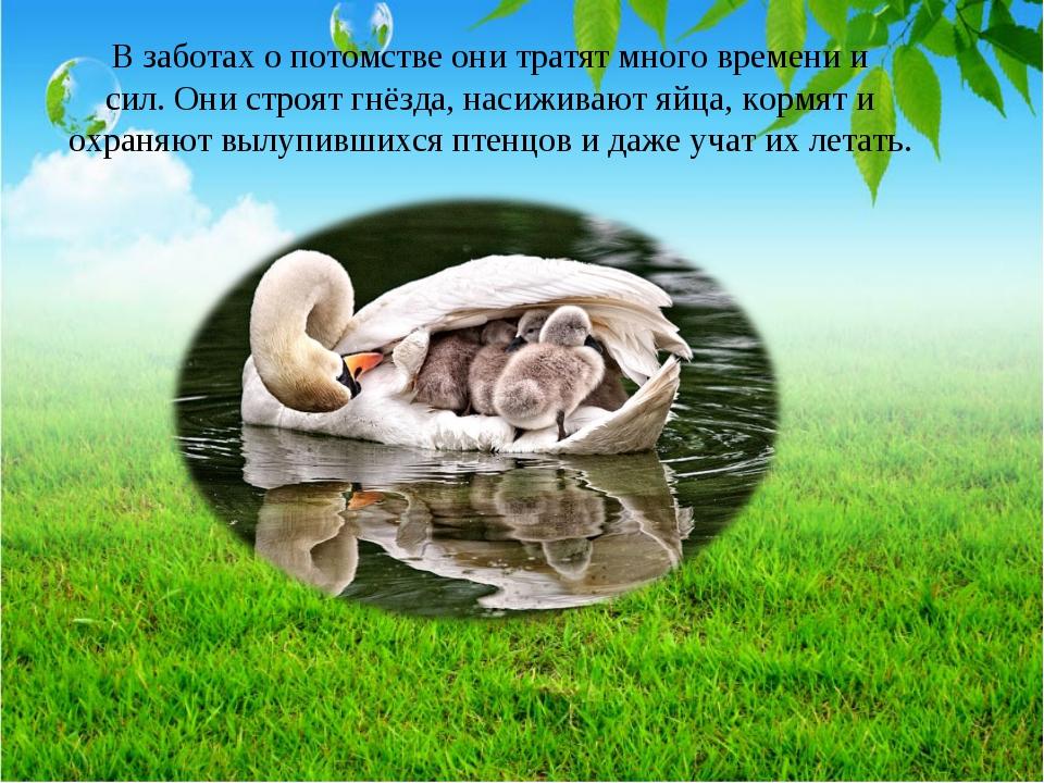 В заботах о потомстве они тратят много времени и сил. Они строят гнёзда, наси...