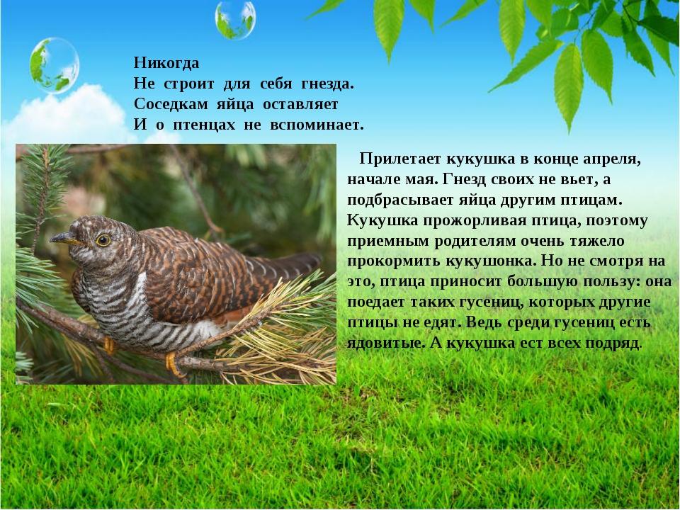 Никогда Не строит для себя гнезда. Соседкам яйца оставляет И о птенцах не всп...