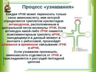 Процесс «узнавания» Каждая тРНК может переносить только свою аминокислоту, и