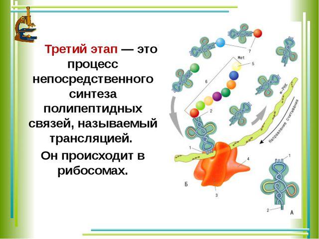 Третий этап — это процесс непосредственного синтеза полипептидных связей, на...