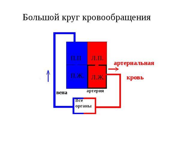 Большой круг кровообращения П.П П.Ж. Л.П. Л.Ж. Все органы артерия вена артер...