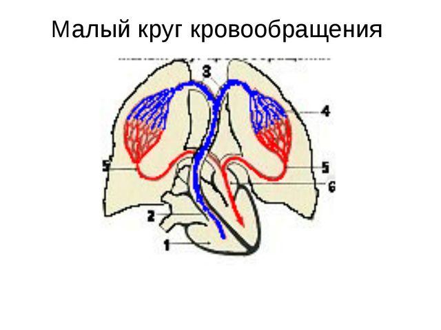 В артериях малого круга течет венозная кровь В венах малого круга течет арте...