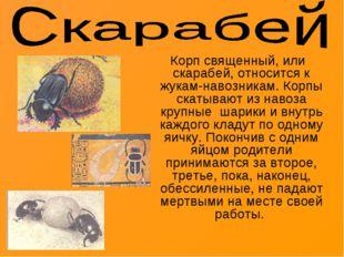 Корп священный, или скарабей, относится к жукам-навозникам. Корпы скатывают