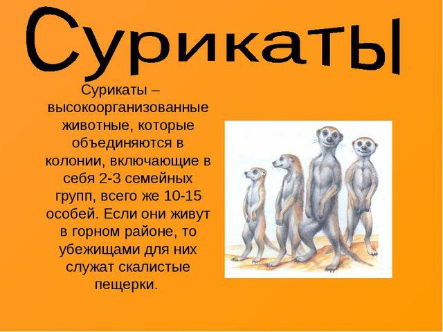 Сурикаты – высокоорганизованные животные, которые объединяются в колонии, вкл...