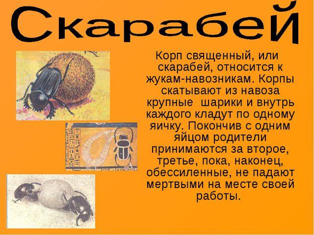 Корп священный, или скарабей, относится к жукам-навозникам. Корпы скатывают...