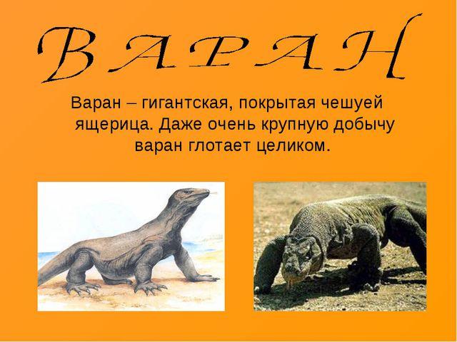 Варан – гигантская, покрытая чешуей ящерица. Даже очень крупную добычу варан...