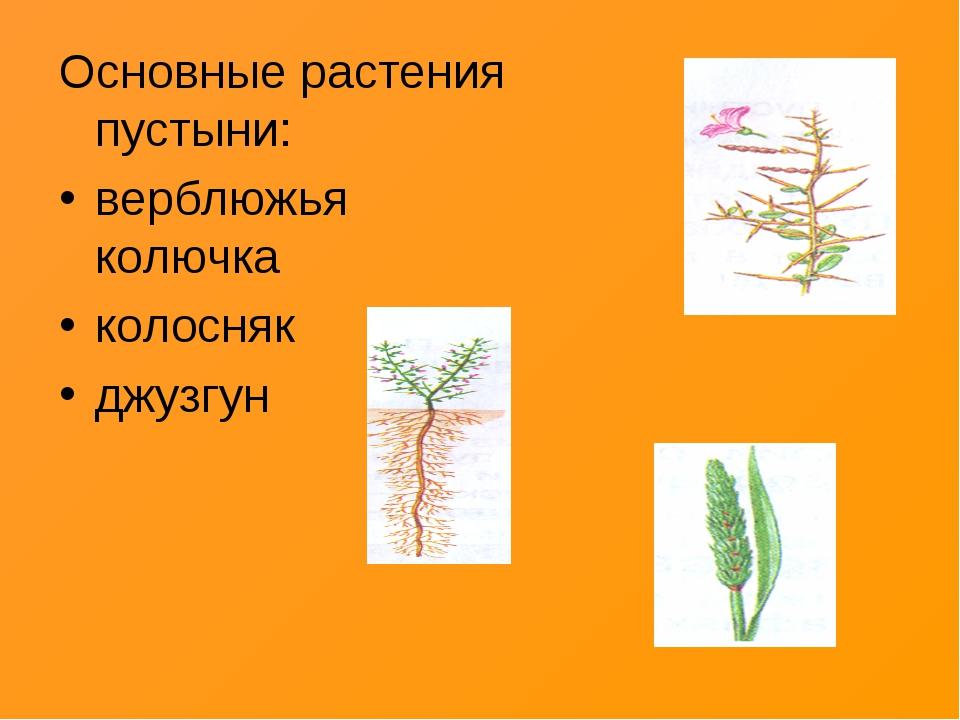 Основные растения пустыни: верблюжья колючка колосняк джузгун