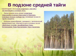 В подзоне средней тайги преобладают леса елово-кедровые с пихтой и лиственниц