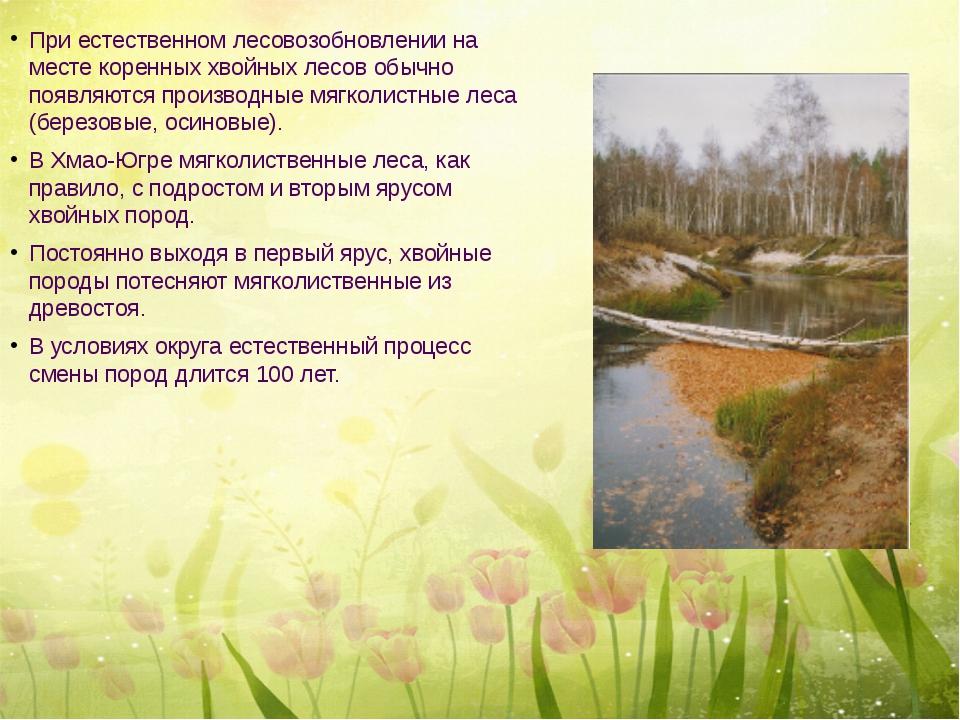 При естественном лесовозобновлении на месте коренных хвойных лесов обычно по...