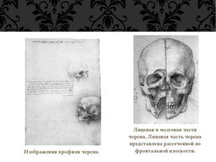 Изображения профиля черепа. Лицевая и мозговая части черепа. Лицевая часть ч