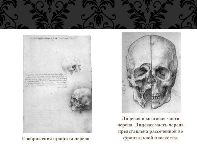 Изображения профиля черепа. Лицевая и мозговая части черепа. Лицевая часть ч...