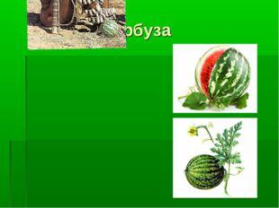 Родина арбуза
