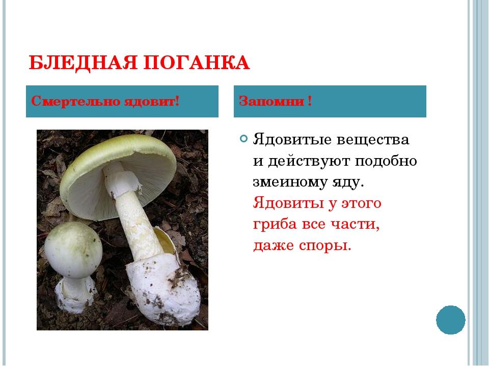 БЛЕДНАЯ ПОГАНКА Ядовитые вещества и действуют подобно змеиному яду. Ядовиты у...