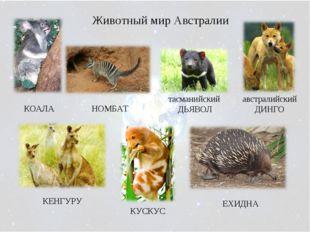 Животный мир Австралии австралийский ДИНГО КОАЛА НОМБАТ тасманийский ДЬЯВОЛ К
