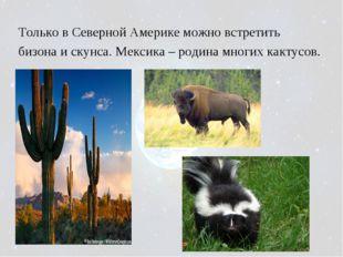 Только в Северной Америке можно встретить бизона и скунса. Мексика – родина м