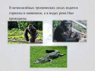 В вечнозелёных тропических лесах водятся гориллы и шимпанзе, а в водах реки Н