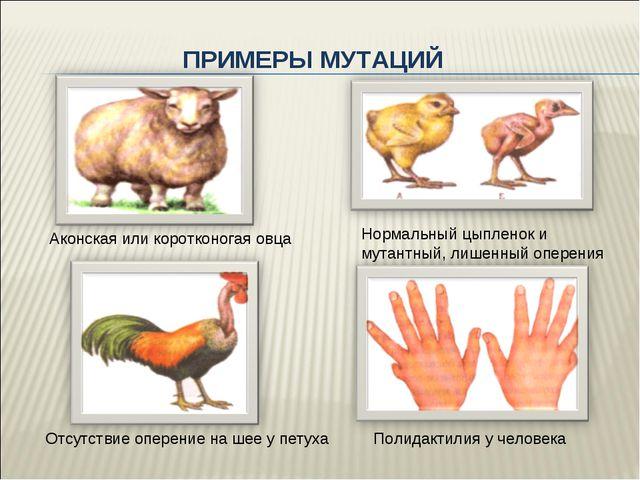 ПРИМЕРЫ МУТАЦИЙ Аконская или коротконогая овца Нормальный цыпленок и мутантны...